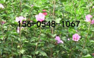 供应3公分-4公分-5公分-6公分木槿花树苗基地直销