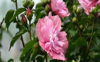 出售4公分-5公分木槿花、6公分木槿花规格齐全