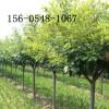 4公分樱花、4公分-5公分樱花直销樱花树苗