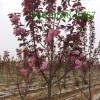 直销7公分樱花、8公分-9公分樱花树苗、高杆樱花树苗