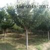 直销高杆樱花树苗、7公分-9公分樱花树苗规格齐全