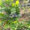 南方种植蓝莓苗品种 北方抗寒蓝莓苗品种