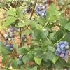 七年蓝莓树占地苗 轩园园艺场出售结果蓝莓树