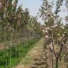 直销8公分、9公分、10公分樱花树苗基地