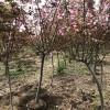 出售阳光樱花树苗7公分=8公分樱花树苗规格齐全