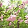 出售12公分-14公分-15公分阳光樱花树苗基地
