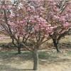 直销8公分-9公分-10公分-12公分樱花树苗成活率高