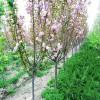 供应6公分樱花价格、7公分-10公分樱花树苗成活率高