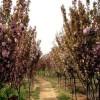 出售樱花规格齐全8公分+10公分+12公分樱花价格