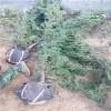 直销龙柏树苗2米-3米-3.5米多头龙柏树苗成活率高