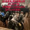 如何避免黑山羊近亲繁殖