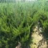 出售龙柏树苗1.5米-2米-2.5米多头龙柏成活率高