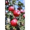 供应优质果树苗木
