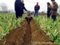 小型履带式开沟机视频新型葡萄园打药机视频潍坊鼎力开沟培土机