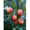 早酥红梨苗批发,红梨苗价格,红梨种植