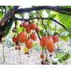 树蛋果种苗,树蛋果种植,树蛋果苗多少钱一株
