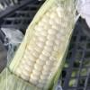 牛奶玉米种子,牛奶玉米种植,牛奶玉米种子批发
