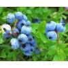 蓝莓种植,蓝莓苗批发,蓝莓盆栽苗价格