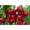 樱桃苗,大红樱桃苗批发,樱桃种植技术栽培