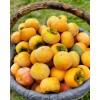 甜脆柿种植,甜脆柿苗批发,脆柿苗价格