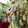 柿子苗批发,黑柿苗批发价格,黑柿种植技术