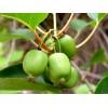 软枣猕猴桃苗批发,软枣猕猴桃品种介绍,猕猴桃种植
