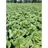 供应:辽宁锦州2022年春棚白菜大量上市