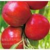 供应 2020凌海市油桃大量上市了,自家的油桃