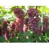 供应:辽宁凌海葡萄 着色香 巨峰大量上市