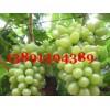 陕西大棚青提葡萄基地,露地青提葡萄产地大量上市