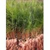湿地松袋苗 湿地松轻基质苗 湿地松杯苗 湿地松容器苗