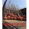 李子树 定植3公分李子树 4公分李子树 5公分李子树 李子树
