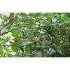 供应八角种子和茴香种子和玉林茴香树介绍