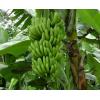 供应广西南宁粉蕉苗西贡蕉苗和香蕉苗2号简介