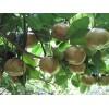 供应软枝油茶种子和玉林大红花油茶种子种苗站