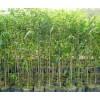 供应沉香树和沉香苗基地 玉林奇楠沉香苗与白木香苗厂家