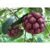 供应五指毛桃苗和黑老虎苗培育中心 玉林猕猴桃苗产地