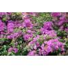 供应紫薇树桩和紫薇示范场  广西三角梅苗价格