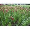 供应鲜百合和百合干和百合苗广西种植基地