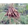 供应铁皮石斛苗和天冬苗示范场 广西草果苗与益智苗产地