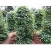 供应广西三七种子和胡椒苗基地 穿心莲种子产地