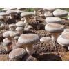 供应木耳种和磨菇种种植场 广西香菇种与金针菇种基地