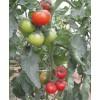 彩虹2号番茄--草莓番茄口感番茄