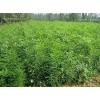山西皂角苗 皂角苗价格 0.5-1公分皂角苗 皂角苗价格