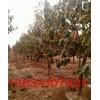 12公分柿子树(12公分柿子树)(12公分柿子树)(柿子树)