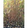 山乌桕袋苗 高度50厘米山乌桕无纺布袋苗 山乌桕杯苗