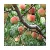 5公分奥数 6公分桃树
