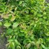 红榉袋苗 高度50厘米红榉小苗 地径0.60厘米红榉杯苗