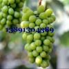 陕西温棚阳光玫瑰葡萄产地,雨棚阳光玫瑰葡萄产地批发价格