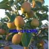 陕西红香酥梨产地,红香酥梨产地批发大量订购中